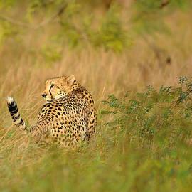Andrew Chislett - Cheetah