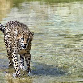 Marcia Colelli - Cheetah