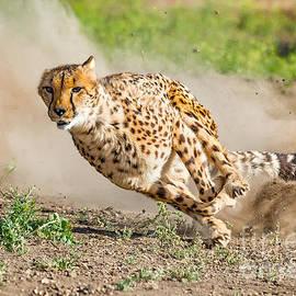 Dianne Phelps - Cheetah Run