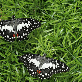 Judy Whitton - Chequered Swallowtail Butterfly