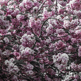 Claire  Doherty - Cherry Blossom - Mother Natures Gift