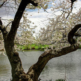 Allen Beatty - Cherry Blossom Trees of Branch Brook Park 19