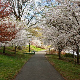 Allen Beatty - Cherry Blossom Trees of Branch Brook Park 23