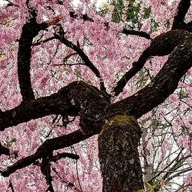 Allen Beatty - Cherry Blossom Trees of Branch Brook Park 28