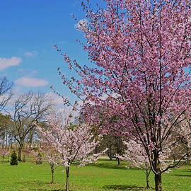Allen Beatty - Cherry Blossom Trees of Branch Brook Park 30