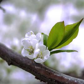 Irina Effa - Cherry blossoms 2