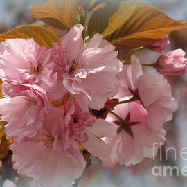 Dora Sofia Caputo Photographic Art and Design - Cherry Blossoms in the Garden