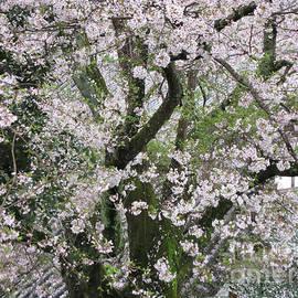 Taikan Nishimoto - Cherry Blossoms in Todaiji