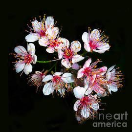 Judi Bagwell - Cherry Blossoms