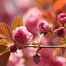 Judy Palkimas - Cherry Blossoms