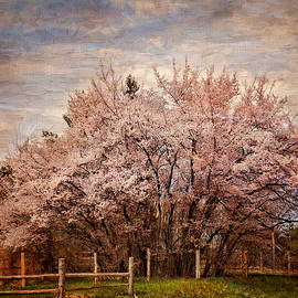 Pamela Phelps - Cherry Blossoms