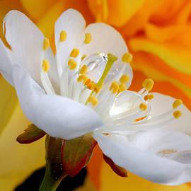 Yuri Hope - Cherry flower in the spring, in profile