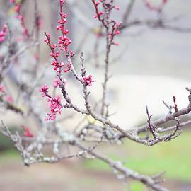 Jenny Rainbow - Cherry Plum Spring Branch
