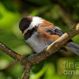 Hui Sim - Chestnut-Backed Chickadee in the Apple Tree