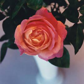 Steve Karol - Chicago Peace Rose