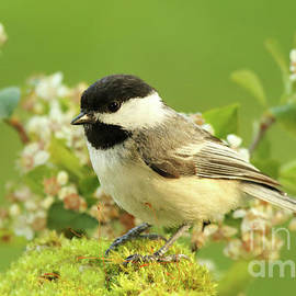 Max Allen - Chickadee Mossy Spring Perch