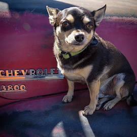Janice Rae Pariza - Chihuahua on a Chevrolet