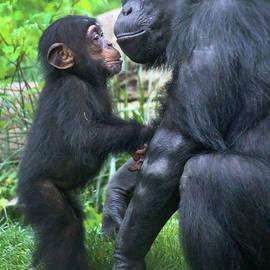 Gary Gingrich Galleries - Chimpanzee Mama n Baby-1 Year-9035