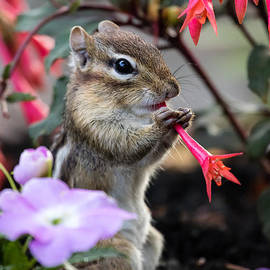 Dawna  Moore Photography - Chipmunk Cutie Eating a Flower