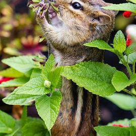 Dawna  Moore Photography - Chipmunk Eating Flower Seeds