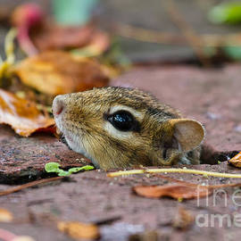 Dawna  Moore Photography - Chipmunk Hiding Spot