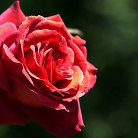 Joseph Skompski - Chocolate Rose