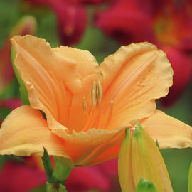 MTBobbins Photography - Choral Angel and Buds - Daylily