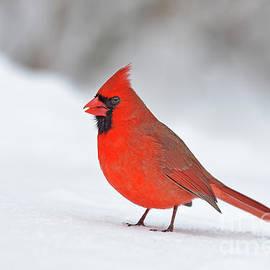 Joshua McCullough - Christmas Bird