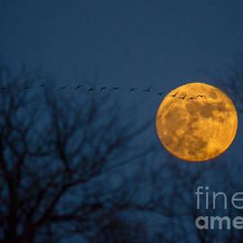 Cheryl Baxter - Christmas Eve Geese in Moon Rise flight