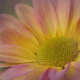 Morgan Wright - Chrysanthemum 3