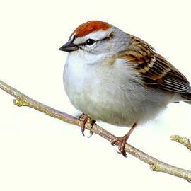 Lori Pessin Lafargue - Chubby Sparrow