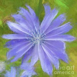 Mona Stut - Cichorium Intybus Blue Daisy Wegwarte
