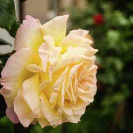 Miguel Winterpacht - City Rose