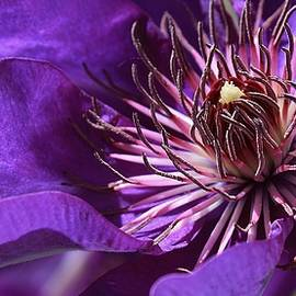 Bruce Bley - Clematis Up Close