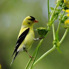 Debbie Oppermann - Clinging Goldfinch