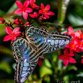 Fiona Craig - Clipper Butterfly 1