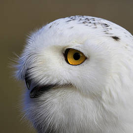 Steve McKinzie - Close Up Of A Snowy Owl