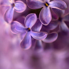 Close up of fresh lilac