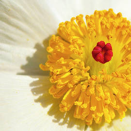 Mark Weaver - Close Up Of Prickly Poppy