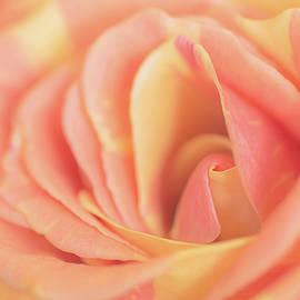 Irina Safonova - Close up of rose