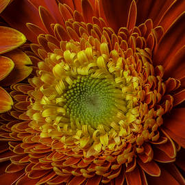 Close Up Yellow Red Mum - Garry Gay