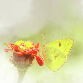 Olahs Photography - Cloudless Sulphur Butterfly