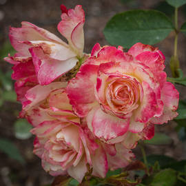 Jane Luxton - Cluster of roses