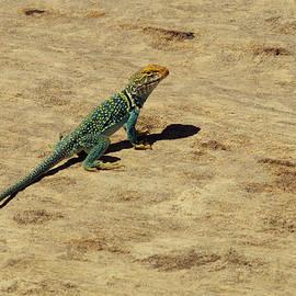 Jeff  Swan - Collard Lizard