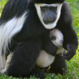 Richard Bryce and Family - Colobus Monkey with Baby