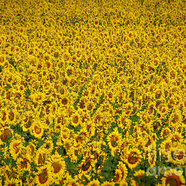 Janice Rae Pariza - Colorado Sunflower Field
