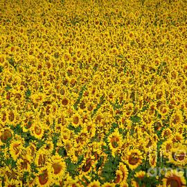 Janice Rae Pariza - Colorado Sunflower Field
