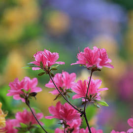 Colorful Azaleas Montage - Mike Reid
