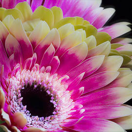 Daphne Sampson - Colorful Daisy Face