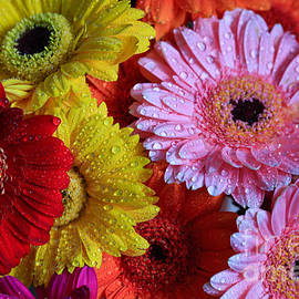 Tracy  Hall - Colorful Gerberas